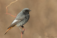 Codirosso Spazzacamino - Black redstart (Simone Mazzoccoli) Tags: wild wildlife nature natura ornithology bird birds birdwatching animal redstart canon outdoors bokeh colors winter
