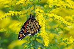 Migration Time (Vie Lipowski) Tags: monarch danausplexippus goldenrod solidagocanadensis solidagovirgaurea insect bug butterfly weed flower backyard wildflower wildlife nature macro