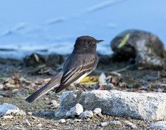 Black Phoebe (Ed Sivon) Tags: america canon nature lasvegas arizona wildlife western wild water southwest clarkcounty desert flickr vegas bird henderson nevada