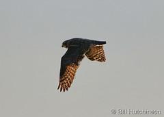 September 22, 2019 - A great horned owl takes flight. (Bill Hutchinson)