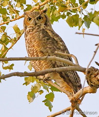 September 21, 2019 - A watchful great horned owl. (Bill Hutchinson)