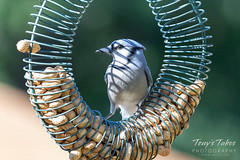 September 22, 2019 - A blue jay hanging out in Thornton. (Tony's Takes)