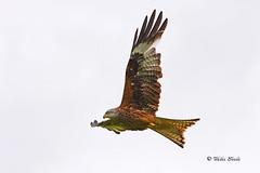 Red Kite (Mike Slade.) Tags: red kite milvusmilvus bird raptor bop llanddeusant llangadog carmarthenshire breconbeacons national park wales nikon © mike slade