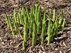 Lombard, IL, Lilacia Park, Remembering Spring, Sprouting Hosta (Mary Warren 14.2+ Million Views) Tags: lombardil lilaciapark garden park spring nature flora plant green leaves foliage hosta