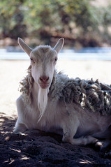 Summer Shawl (squirtiesdad) Tags: firenze goat animal pet shade epson v600 analog analogue ektar iso100 color negative 35mm film c41 nikomat ftn