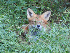 Life is Good (annette.allor) Tags: redfox vulpes sleeping