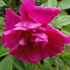 Raindrops (evisdotter) Tags: raindrops regndroppar red rose ros macro