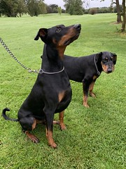 Doberman Pinschers Saxon And Gabbana (firehouse.ie) Tags: hunds hund hind perros perro canine k9 animals animal two pair female male dogs dog pinschers pinscher dobermanns dobermans dobermann doberman dobies dobie dobeys dobey dobes dobe