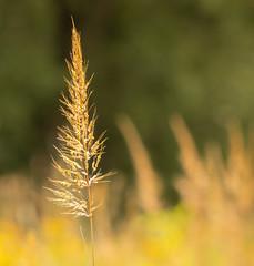 Autumn (mahar15) Tags: grass stem oatgrass nature botanical autumn autumncolor