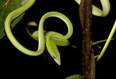 Oriental Whip Snake (Ahaetulla prasina) (cowyeow) Tags: malaysia forest nature wildlife herp herps herping asia asian reptile snake vine vinesnake whipsnake ahaetullaprasina ahaetulla prasina green greensnake treesnake