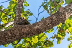 DSC9407 Cuscus ursino de Sulawesi (Ailurops ursinus), Reserva Natural Tangkoko-Batuangas Dua Saudara, Isla de Célebes, Sulawesi, Indonesia (Ramón Muñoz - Fotografía) Tags: indonesia indonesian fauna animales animals tangkokobatuangas dua saudara reserva natural parque nacional park national reserve cuscús ursino de sulawesi ailurops ursinus