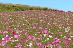 Cosmos flower field (sumi!) Tags: park japan ibaraki hitachinaka hitachiseasidepark cosmos flower field autumn bluesky sky pink