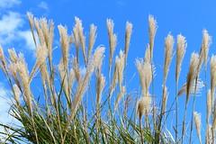 Pampas grass (sumi!) Tags: hitachiseasidepark ibaraki japan hitachinaka park pampasgrass autumn clouds cloud bluesky sky blue