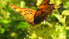 Butterflie, Comma, 05092019, 04 f (alanblunden) Tags: riverwitham alongtheriver wildlife grantham wild queenelizabethparkhermajestyqueenelizabeththequeenmother granthamsriversidewalkcycleway park river insect wildinsect butterflies uk wildbutterflie summer summer2019 butterfliecomma comma september september2019 macro