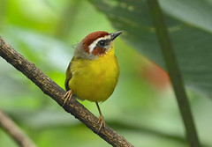 Rufous-capped Warbler --- Basileuterus rufifrons (creaturesnapper) Tags: panama birds warblers rufouscappedwarbler basileuterusrufifrons