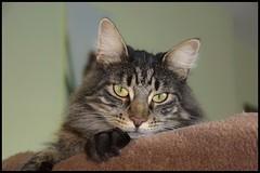 Gabin le charmeur (BelSoq) Tags: chat cat katze gato animal pet félin