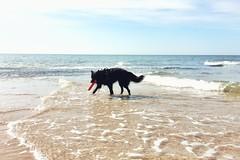have fun 🐺 (Jos Mecklenfeld) Tags: hond hund dog herder herdershond schäferhund shepherddog shepherd hollandseherder dutchshepherd noordzee nordsee northsea nederland niederlande netherlands noordholland callantsoog meer zee sea strand beach spelen spielen playing totoro