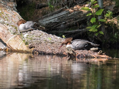 Break time (Wicked Dark Photography) Tags: landscape wisconsin animal animals birds kayaking lake merganser nature paddling summer water wildlife