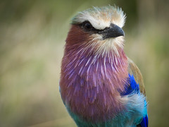 LILAC BREASTED ROLLER (eliewolfphotography) Tags: birds bird wildlife wildlifephotographer wildlifephotography animals africa african tanzania tarangirenationalpark nature naturelovers nikon naturephotography natgeo naturephotographer natgeowild safari serengeti serengetinationalpark colorful