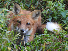 Red Fox (annette.allor) Tags: redfox vulpes