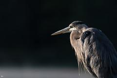 ''Le grand sage!'' grand héron-Great blue heron (pascaleforest) Tags: canada quebec faune wildlife wild nature nikon passion animal bird oiseau