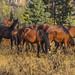 More wild horses