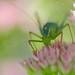 Grasshopper in pink