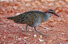 Buff-banded Rail ! (Uhlenhorst) Tags: 2011 australia australien animals tiere birds vögel travel reisen