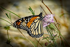 Monarch Butterfly ! (Uhlenhorst) Tags: animals tiere 2010 australia australien plants pflanzen flowers blumen blossoms blüten travel reisen coth