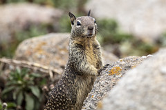 On Lookout Duty (CraDorPhoto) Tags: canon5dsr animals squirrel groundsquirrel nature outdoors outside california usa