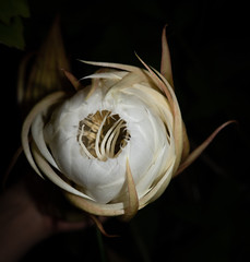 DSC07681 (jaglazier) Tags: 2019 92219 bloomington copyright2019jamesaglazier indiana nightbloomingcereus public september usa flowers plants safe succulents