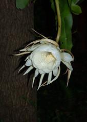 DSC07685 (jaglazier) Tags: 2019 92219 bloomington copyright2019jamesaglazier indiana nightbloomingcereus public september usa flowers plants safe succulents