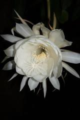 DSC07692 (jaglazier) Tags: 2019 92219 bloomington copyright2019jamesaglazier indiana nightbloomingcereus public september usa flowers plants safe succulents