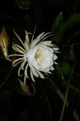 DSC07697 (jaglazier) Tags: 2019 92219 bloomington copyright2019jamesaglazier indiana nightbloomingcereus public september usa flowers plants safe succulents