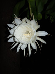 DSC07700 (jaglazier) Tags: 2019 92219 bloomington copyright2019jamesaglazier indiana nightbloomingcereus public september usa flowers plants safe succulents