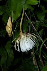 DSC07704 (jaglazier) Tags: 2019 92219 bloomington copyright2019jamesaglazier indiana nightbloomingcereus public september usa flowers plants safe succulents