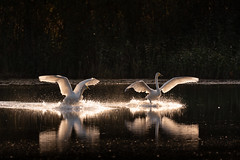 Landing. (laurilehtophotography) Tags: suomi finland syksy oittila autumn fall wildlife swans joutsenet early morning photography reflections birds lake coutryside sun light nikon d750 nikkor 200500mm amazing europe