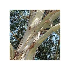 Eucalyptus (JJDuvoisin) Tags: