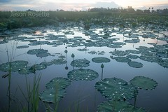 Pond of Lilies and Lotuses After the Rain in Cambodia (jasonrosette) Tags: camerado jrosette jasonrosette water cambodia asia travel rural pond lilies lotus flower green rain organic countryside