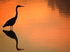 HERON AT SUNRISE (Lisa Plymell) Tags: lisaplymell nikon bird coolpixp900 heron