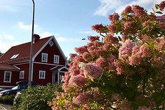 Pink Flowers - Late Afternoon (halleluja2014) Tags: tvärvägen sensommar afternoon summer september faluröd slamfärg paintsludge swedishstyle woodenhouse traditionallook falured falunred hydrangea syrenhortensia sweden dalarna falun