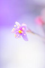 Blossom love🌸 (Un instant.) Tags: fujian 35mm17 rétro blossom flowers love macro bokek flou art