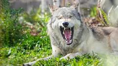 Wolf - 7445 (✵ΨᗩSᗰIᘉᗴ HᗴᘉS✵84 000 000 THXS) Tags: sony sonydscrx10m4 pairidaiza nature animal loup wolf loupducanada belgium europa aaa namuroise look photo friends be yasminehens interest eu fr party greatphotographers lanamuroise flickering