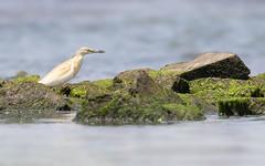 Squacco Heron (Alex Perry Wildlife Photography) Tags: squaccoheron ardeolaralloides blackseacoast bulgaria alexperry wildlife bird ardeidae
