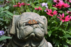 A Big Thank You (DaPuglet) Tags: flowers flower statue butterfly butterflies pug pugs autumn ontario canada fall lady garden insect wings painted ottawa insects paintedlady vanessacardui nymphalidae pugstatue dog dogs coneflowers buddleia echinacea coneflower butterflybush stone funny macro lol cute coth coth5