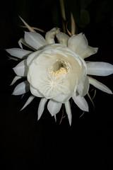 DSC07695 (jaglazier) Tags: 2019 92219 bloomington copyright2019jamesaglazier indiana nightbloomingcereus public september usa flowers plants safe succulents