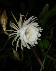 DSC07696 (jaglazier) Tags: 2019 92219 bloomington copyright2019jamesaglazier indiana nightbloomingcereus public september usa flowers plants safe succulents