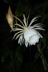 DSC07708 (jaglazier) Tags: 2019 92219 bloomington copyright2019jamesaglazier indiana nightbloomingcereus public september usa flowers plants safe succulents