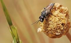 Astata miegii scapularis m. 0464 (Henrik Gyurkovics) Tags: astatamiegiiscapularis astatamiegii astata miegii scapularis astatinae crabronidae hymenoptera wasps greece rhodes faliraki diggerwasps astatidae