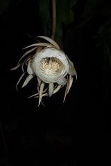 DSC07683 (jaglazier) Tags: 2019 92219 bloomington copyright2019jamesaglazier indiana nightbloomingcereus public september usa flowers plants safe succulents